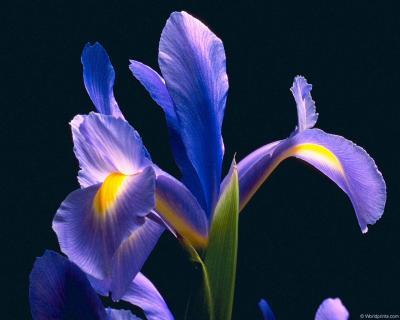 Обои Цветы № 332