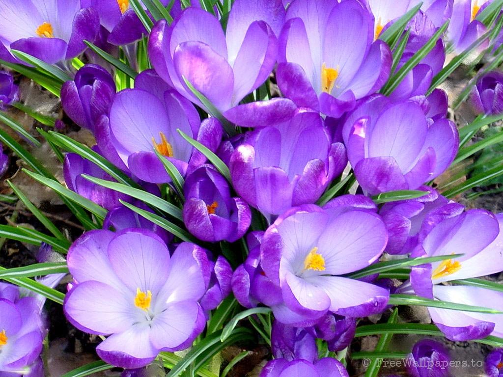 Обои для рабочего стола Цветы № 337