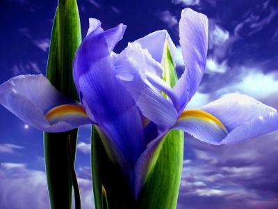 Обои Цветы № 350