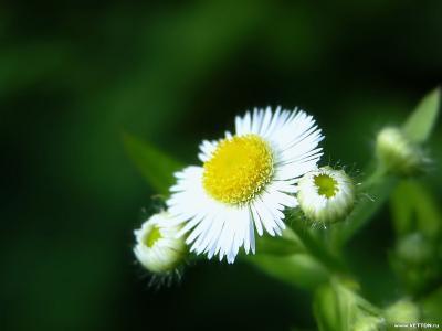 Обои Цветы № 354
