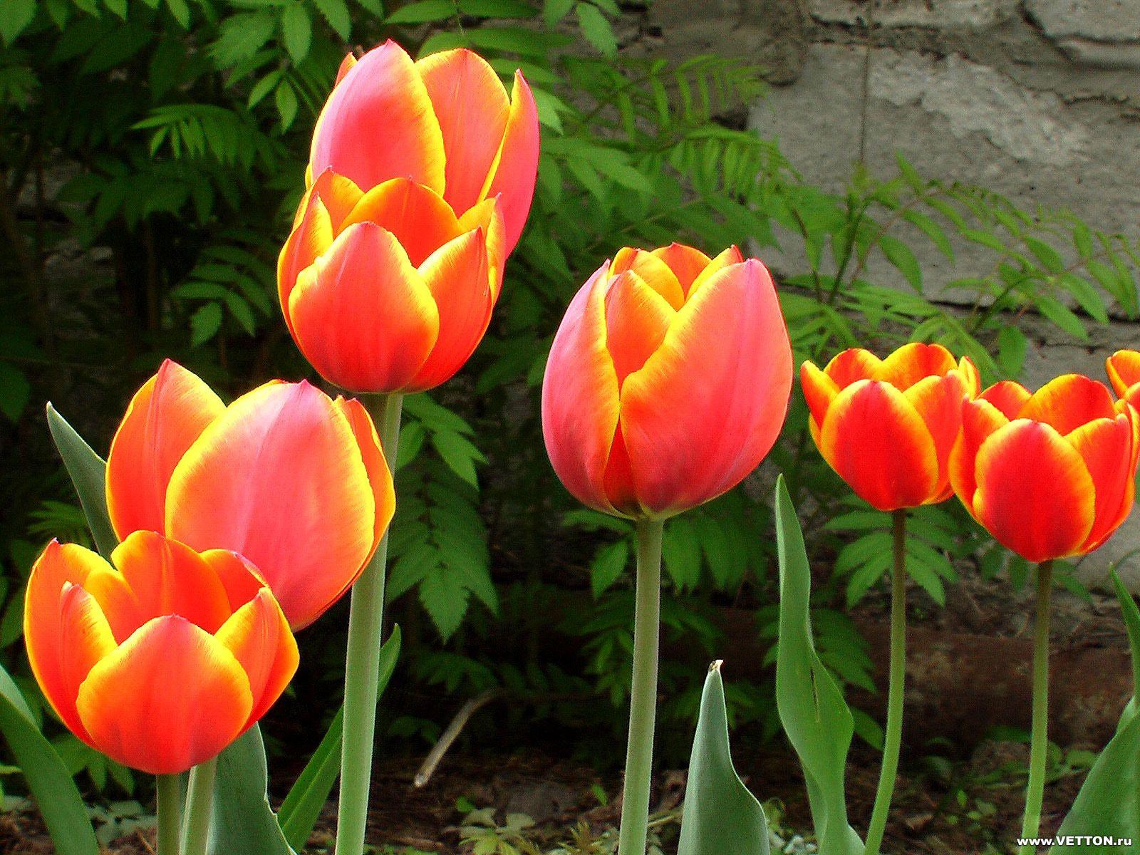 Обои для рабочего стола Цветы № 355