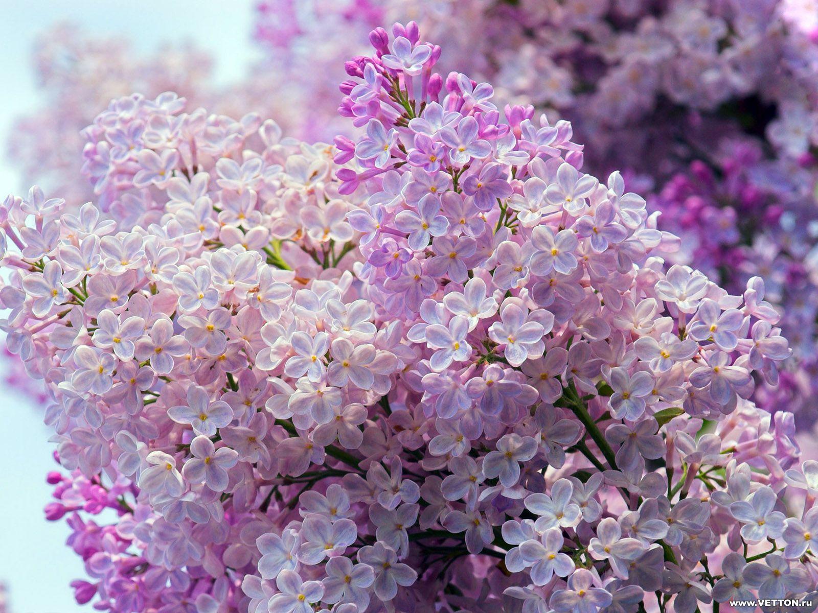 Обои для рабочего стола Цветы № 358